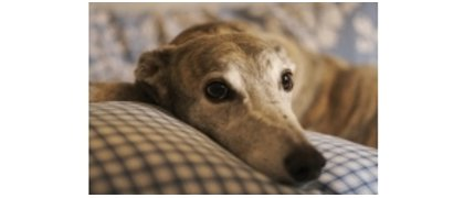 Greyhound Rescue Charity