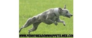 Pennymeadow Whippets