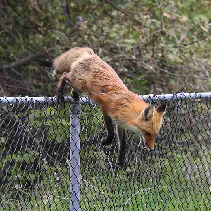 Fox Attack!
