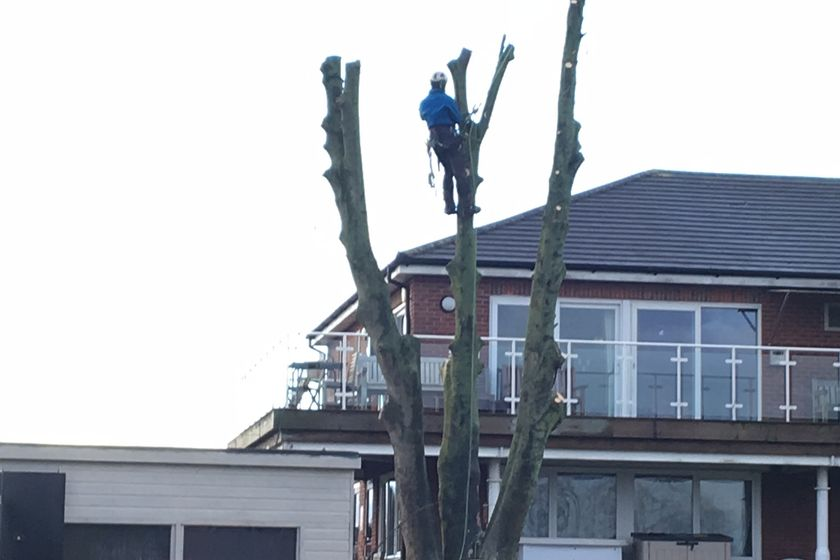 New trees to replace sycamore
