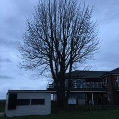 Sycamore tree replaced