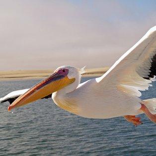 Pelicans 5-1 Kettering
