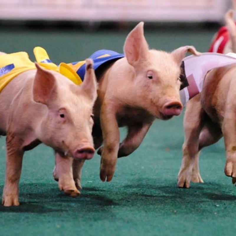 Pig Racing/BBQ - CHC Club Day