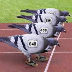Pigeon Race Night Holland Fund Raiser