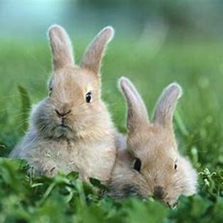 Rabbits see the baggie home