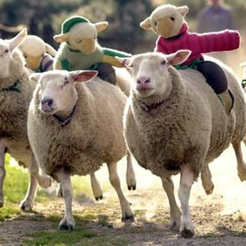 Sheep Racing Tickets On-Sale from Monday 17th