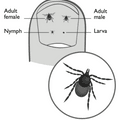 Tick bites and Lyme Disease