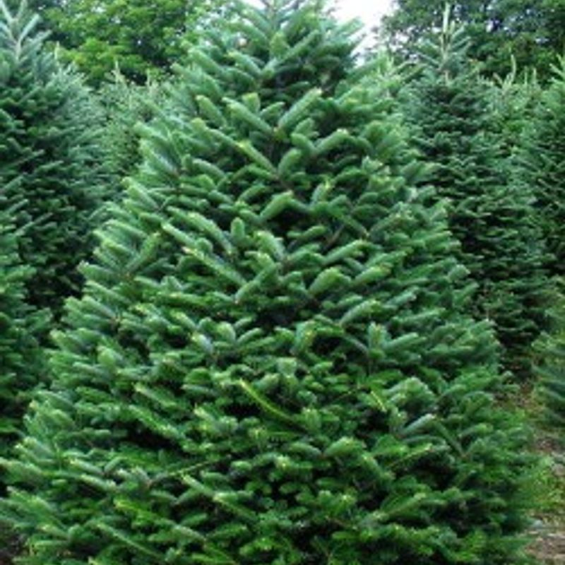 Christmas Tree Sale on the 10th and 11th of December