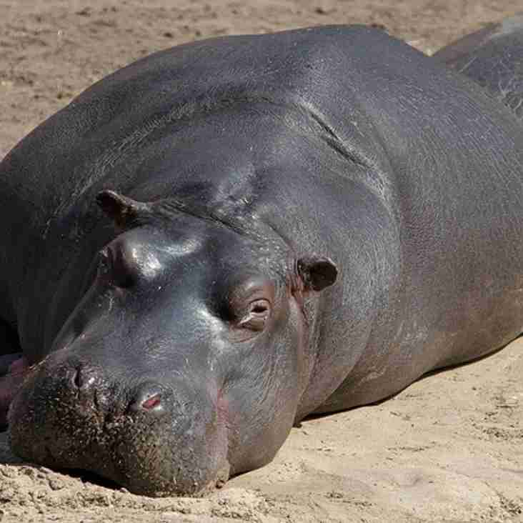 Hippos! Have you herd the news? ** MATCH CANCELLED **