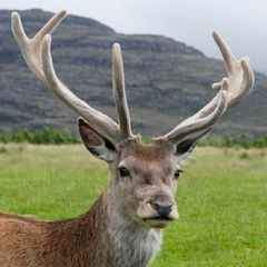 Stags Horn for June is (belatedly) Out!
